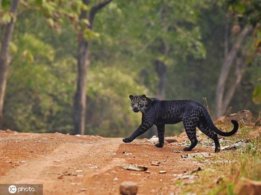 Penampakan Macan Tutul Hitam yang Sangat Langka