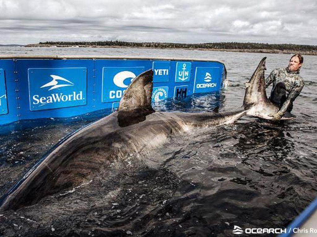 Hiu Raksasa Berjuluk Ratu Lautan Ditangkap, Buat Apa?