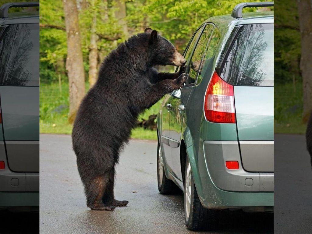 Waduh, Beruang Ini Curi Ramen hingga Mainan dari Mobil