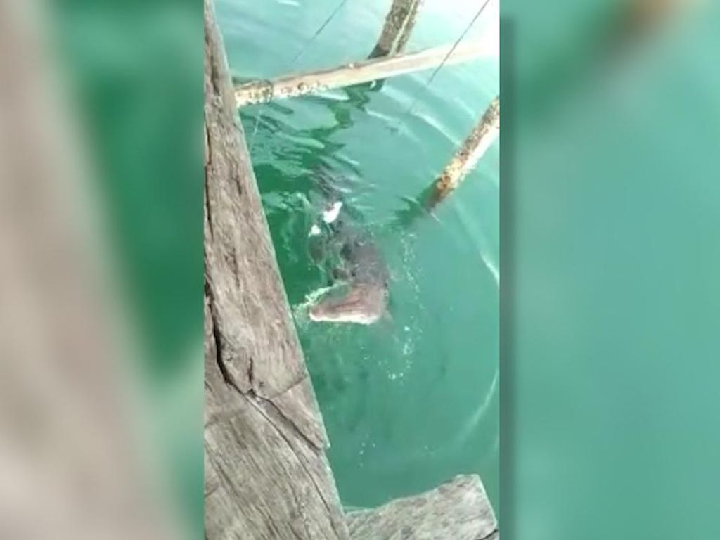 Sering Muncul di Dermaga, Buaya Sepanjang 3 Meter Dievakuasi