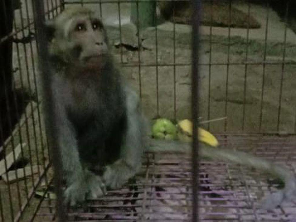Seekor Monyet Pencuri Telur dan Anak Ayam di Ponorogo Ditangkap