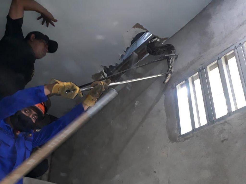 Ngeri! Ular Sanca 4 Meter Muncul dari Plafon Rumah Warga di Makassar