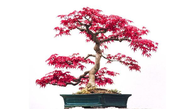 Bonsai of a dwarf Japanese red maple in green rectangular ceramic pot