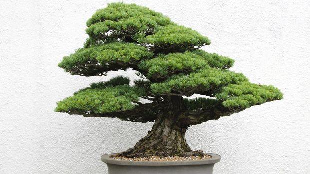 Bonsai tree in ceramic pot.