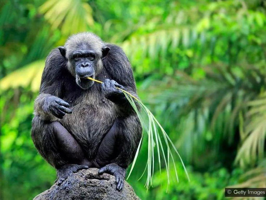 Apa yang Membuat Simpanse Bisa Bertahan di Tengah Perubahan Iklim?