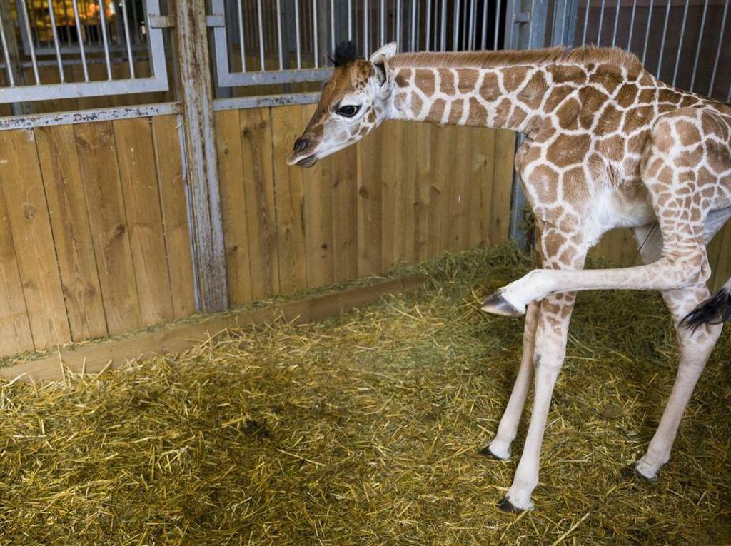 Kebun Binatang Ini Kedatangan Bayi Jerapah Langka