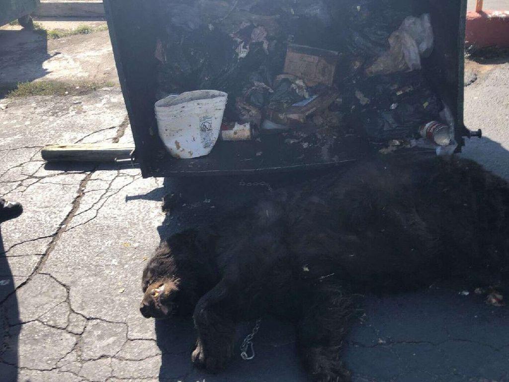 Kasihan! Cari Makan Jelang Hibernasi, Beruang Ini Terjebak di Tong Sampah