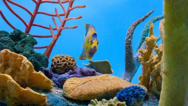 ilustrasi ikan hias anglefish