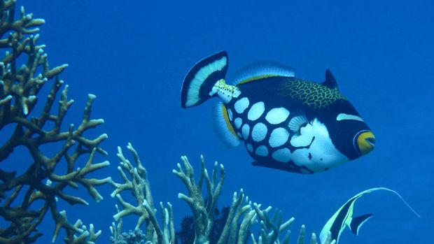 ilustrasi ikan hias Clown Triggerfish