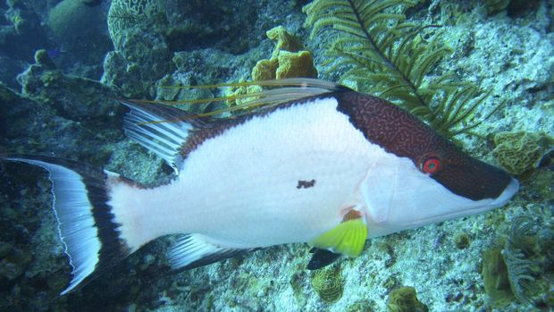 ilustrasi ikan hias coral hogfish