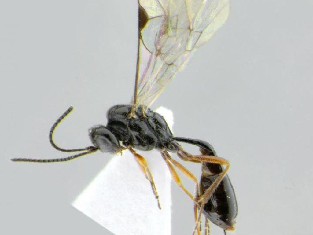 Nama Tawon Parasit Ini Terinspirasi COVID-19