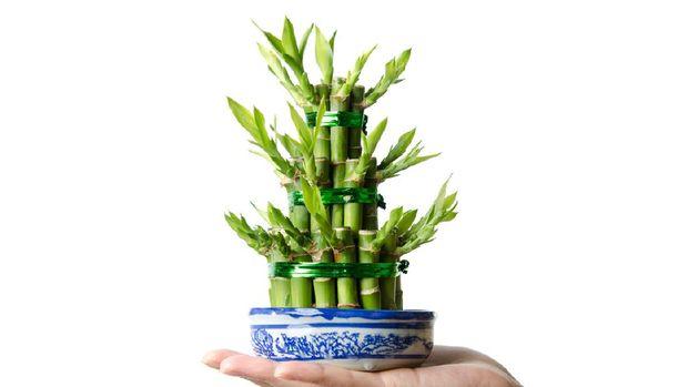 Chinese Lucky bamboo, Dracaena sanderiana, isolated
