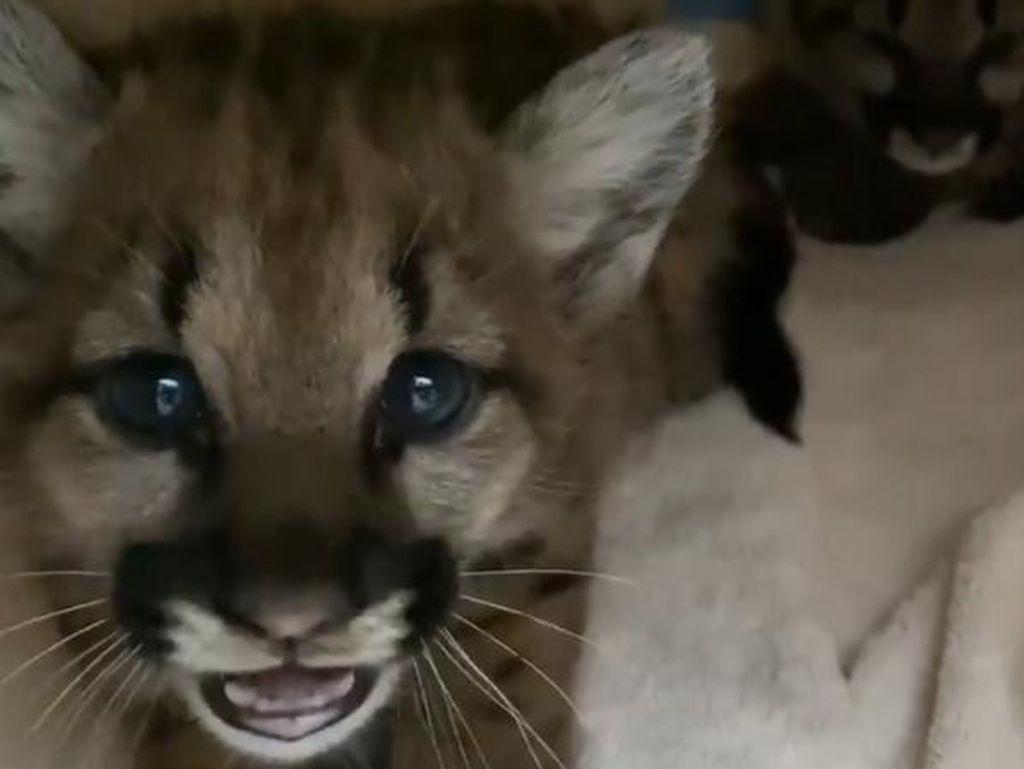 Kasihan, Dua Bayi Singa Ini Kehilangan Induknya Karena Kebakaran
