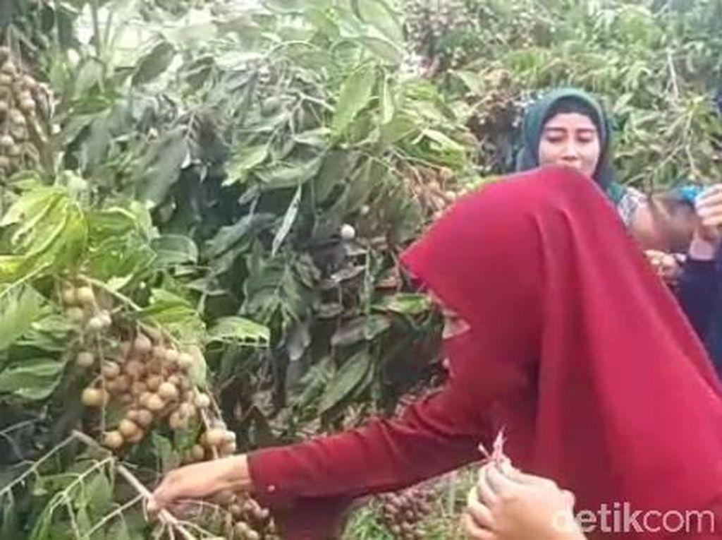 Cobain Deh, Makan dan Petik Buah Kelengkeng yang Legit Langsung dari Pohon