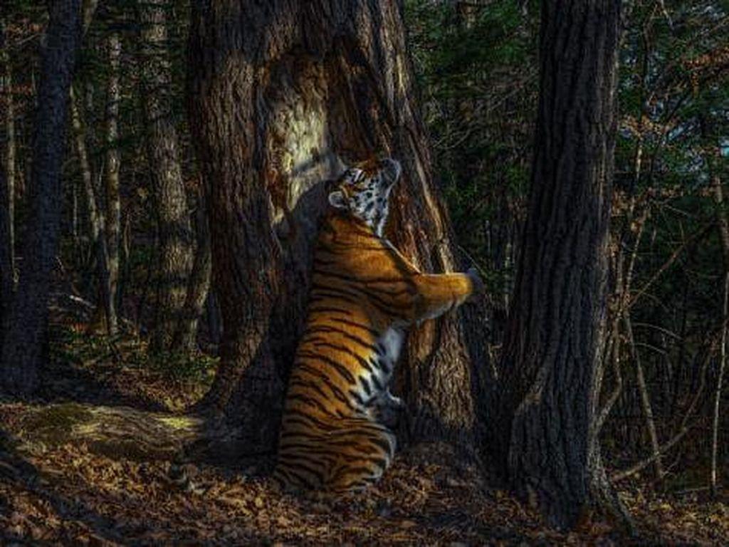 Potret Harimau Peluk Pohon Menangkan Wildlife Photographer of the Year