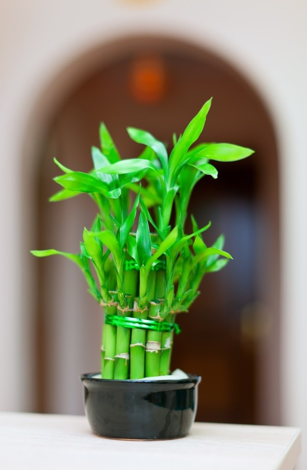 Tanaman Hias Bambu Keberuntungan/Freepik.com