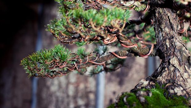 Bonsai tree against tree bark background. Branches are wired to create the shape of the tree while growing.