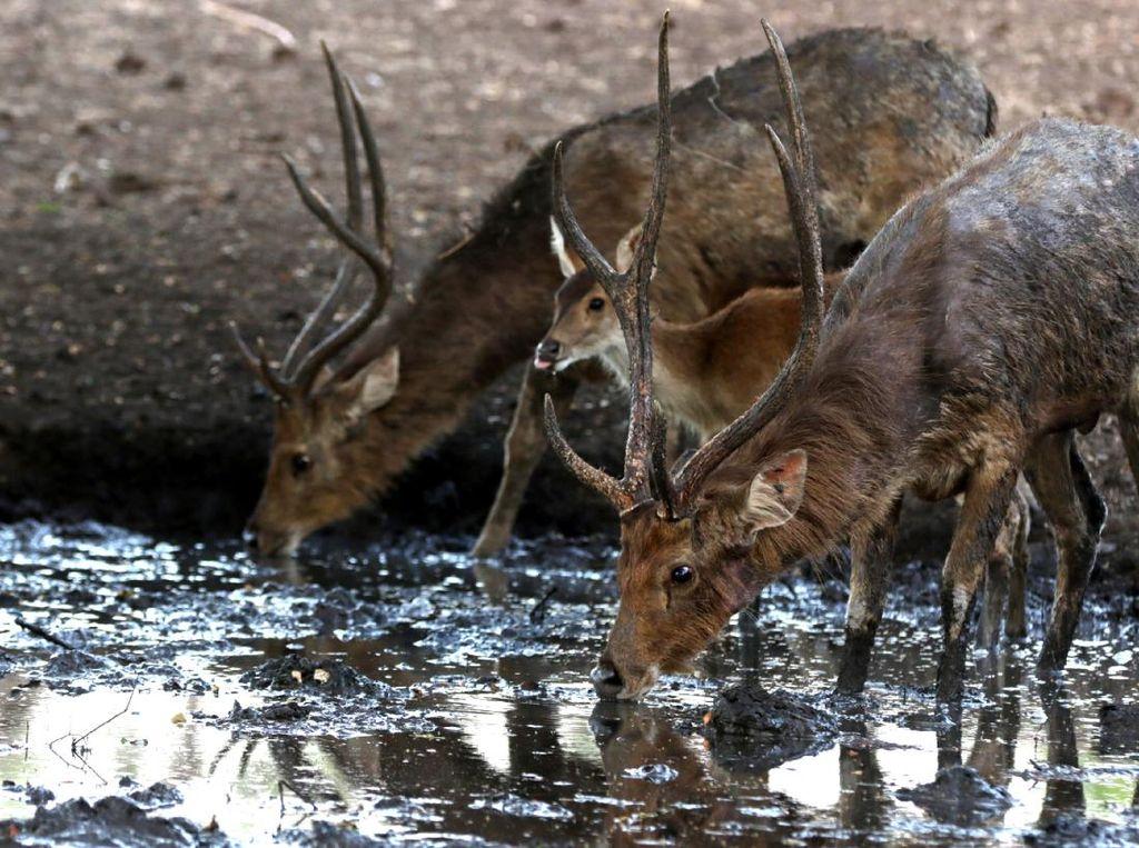 Satwa di Taman Nasional Baluran Terancam Kehausan