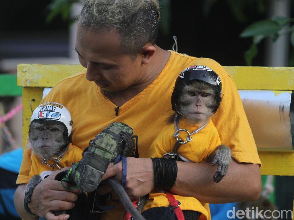 Belajar Merawat Monyet Ekor Panjang dari Ahlinya