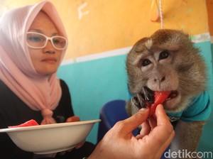 Begini Lho Perawatan Monyet Adopsi di Karawang