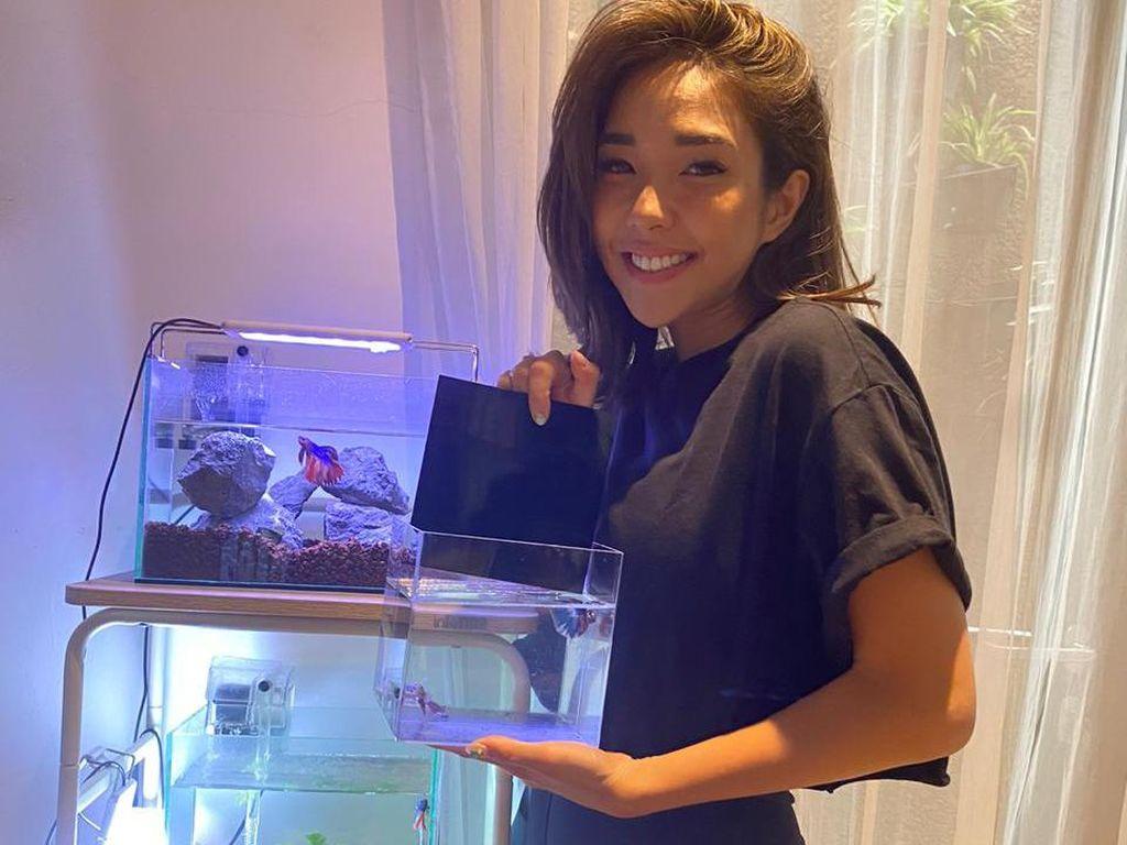 Tips Agar Ikan Cupang Tak Cepat Mati dari Gisel yang Ketagihan Punya Cupang