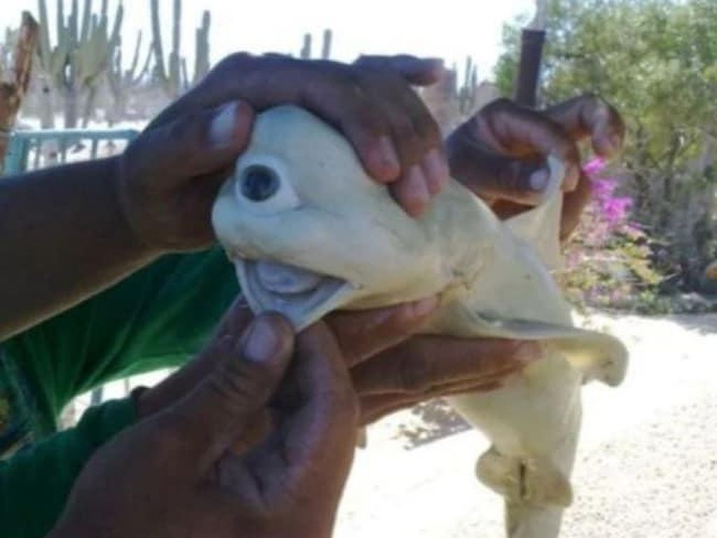 Bayi Hiu Mata Satu Ditemukan di Maluku!
