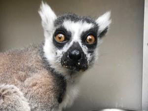 Kebun Binatang ini Beri Rp 30 juta Bagi Penemu Lemur yang Hilang