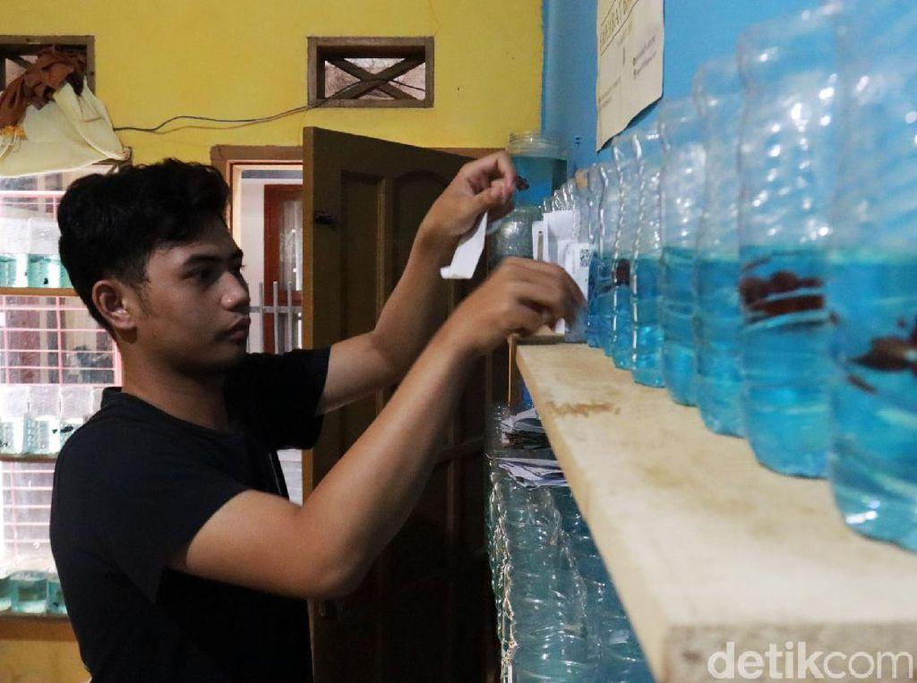 Mahasiswa UIN Bandung Raup Jutaan Rupiah dengan Budidaya Cupang