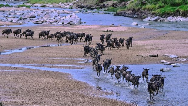 Wildebeests  run across a sandy riverbed of the Sand River as they arrive into Kenya's Maasai Mara National Reserve from Tanzania's Serengeti National Park during the start of the annual migration July 18, 2020. - The Wildebeest Migration is one of the Seven New Wonders of the World in which over two million head of mainly wildebeest and zebra migrate from the Serengeti National Park in Tanzania to the greener pastures of the Masai Mara National Reserve in Kenya during July through to October. (Photo by TONY KARUMBA / AFP)