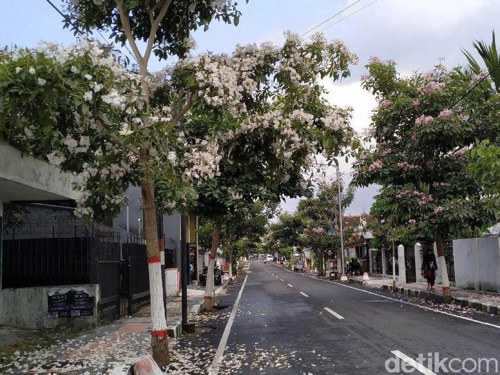 Pesona Tabebuya Putih dan Pink Berguguran di Jalanan Kota Blitar