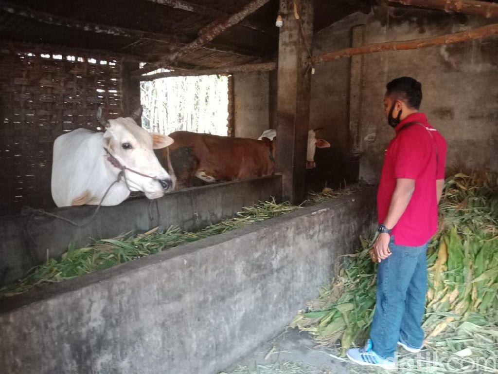 6 Ekor Sapi Limousin Warga Satu Kampung di Jombang Dicuri dalam Semalam