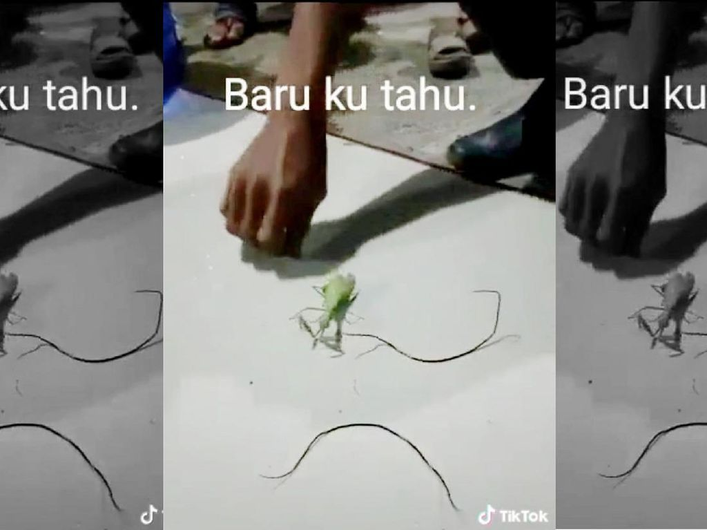 Video Cacing Parasit di TikTok, Bikin Inangnya Jadi Zombie