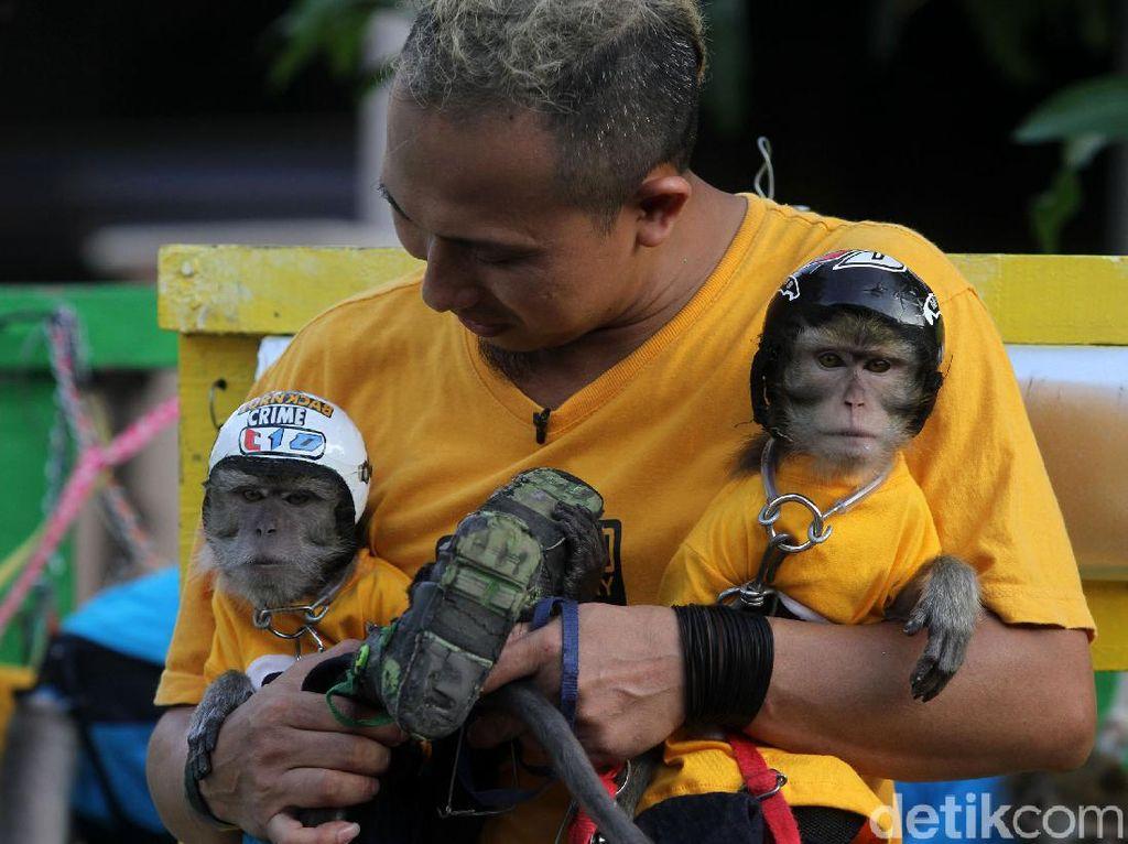 Gemes! Monyet ini Pakai Baju dan Helm Lho