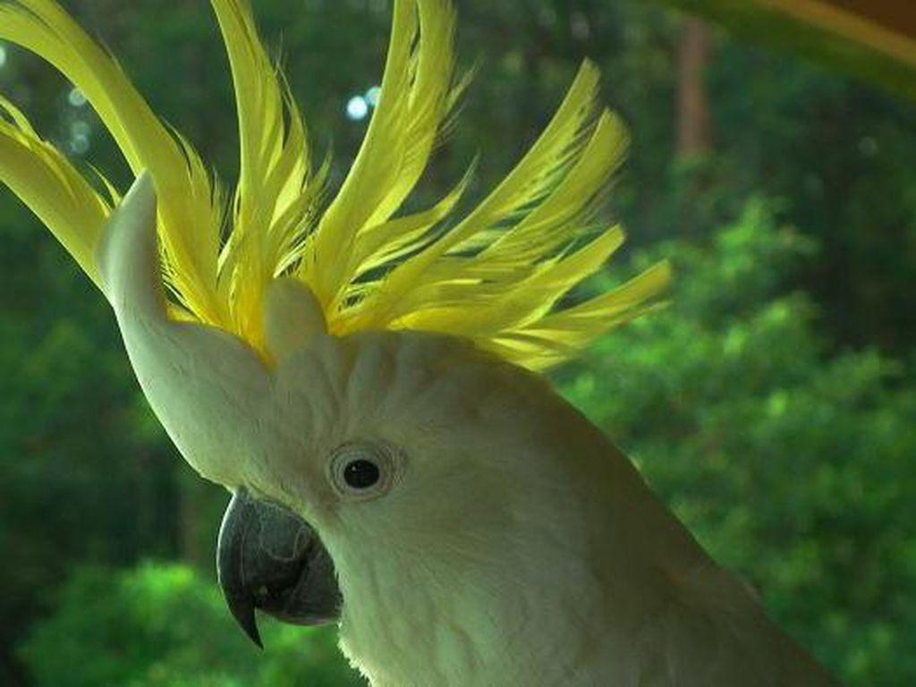 Burung yang Cerdas, Apa yang Anda Ketahui Tentang Kakatua Berjambul Kuning?