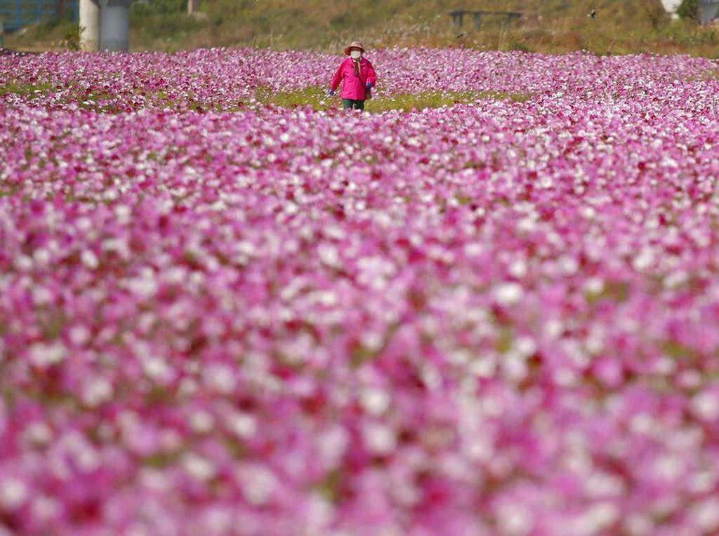 Foto Indahnya Taman Bunga Cosmos di Korsel