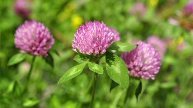 Flowers and leaves of Red Clover, Trifolium pratense