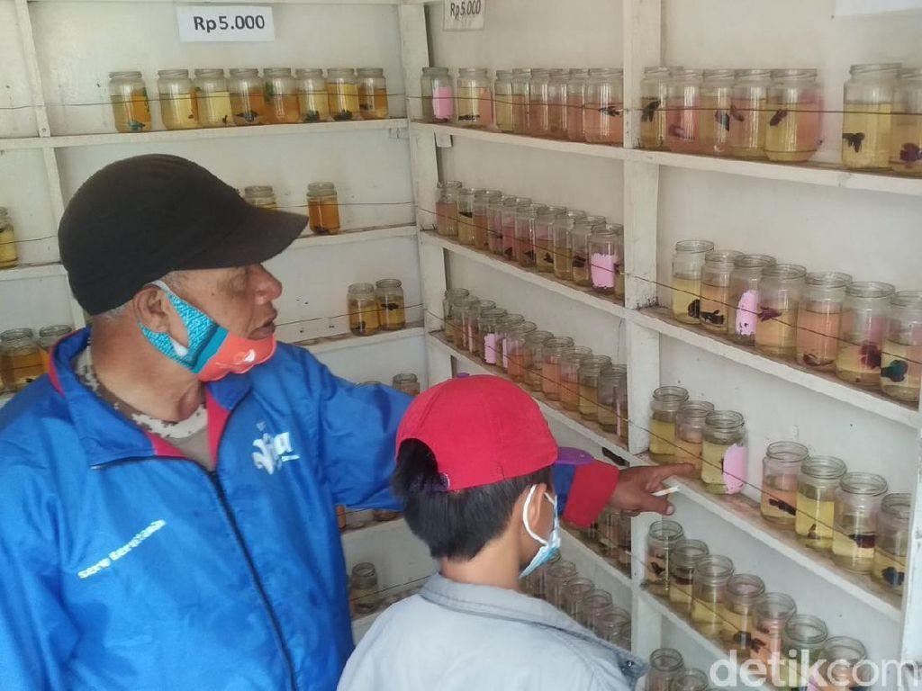 Bisnis Ikan Cupang Raup Omzet Jutaan Sehari