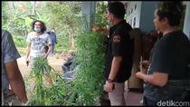 BNN Tasikmalaya Bongkar Budidaya Ganja Rumahan, 4 Orang Diamankan
