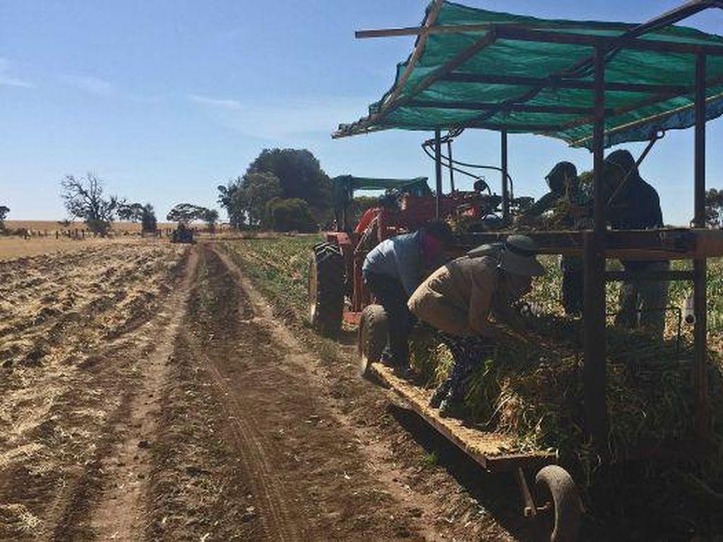 Nasib Pertanian Jika Pemerintah Australia Tak Mengampuni Pekerja Gelap