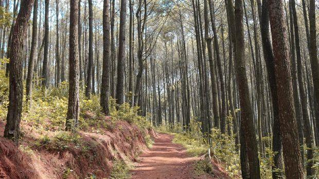 Autumn Fall landscape of pine forest in hutan pinus mangunan, yogyakarta, indonesia.