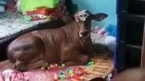 Ternyata Begini Cerita di Balik Viral Video Sapi Rebahan di Kamar