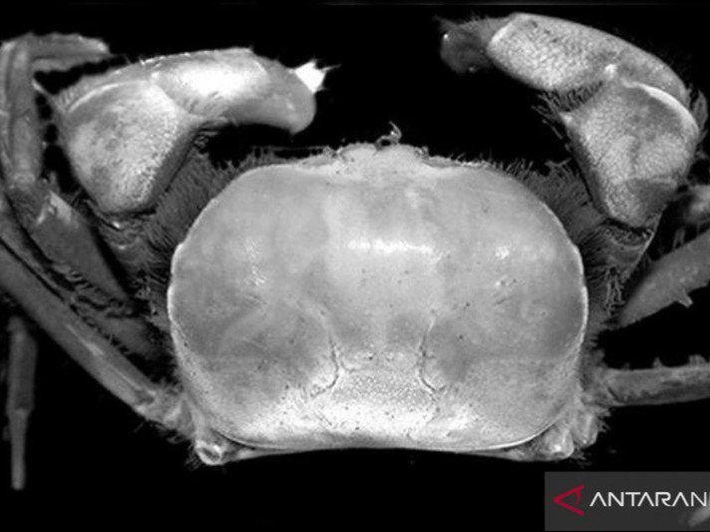 2 Spesies Kepiting Baru Ditemukan di Area Freeport, Penelitian 4 Tahun
