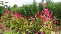 Warna-warni Kembang di Taman Bunga Celosia, Kuningan