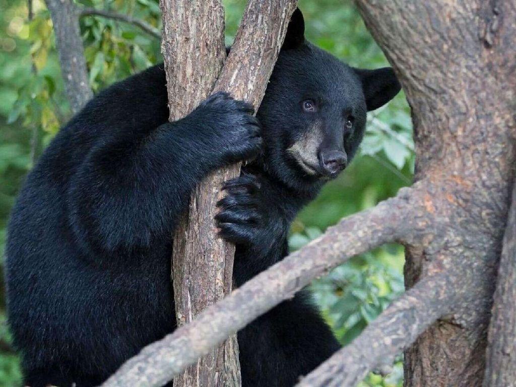 Mungkin Lagi Galau, Beruang Ini Mengoceh di Atas Pohon