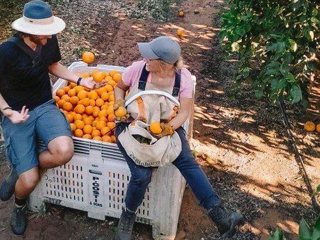 Petani Australia Putus Asa, Mendesak Agar Backpacker Segera Didatangkan