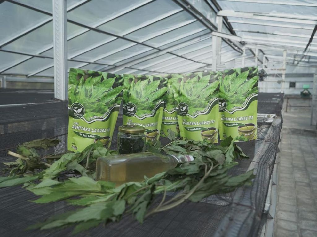 Ubaya Bantu Petani Buat Inovasi dari Ashitaba Saat Pandemi COVID-19