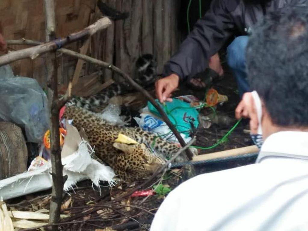 Sempat Dirawat, Macan Tutul yang Terluka di Kawah Putih Mati