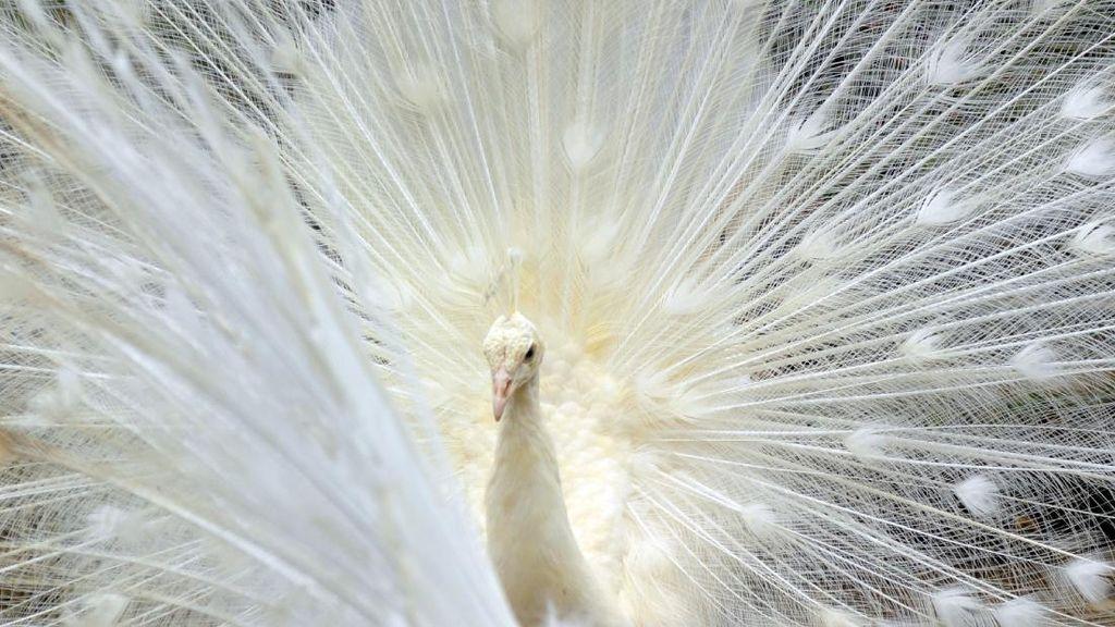 Terpesona Cantiknya Merak Putih di Bukittinggi