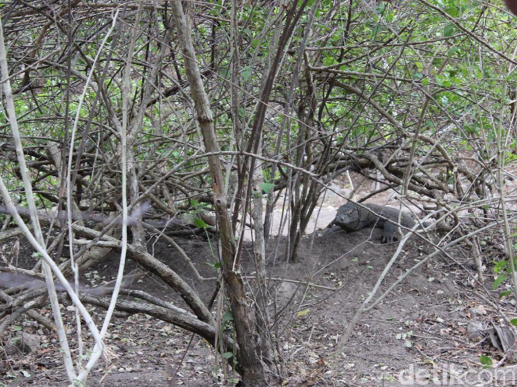 Komodo Punya Cara Unik untuk Kawin