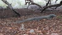 UNESCO Minta Pembangunan di TN Komodo Disetop, KLHK: Enggak Bisa Dong!